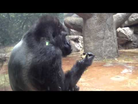 Gorilla eats his own throw up