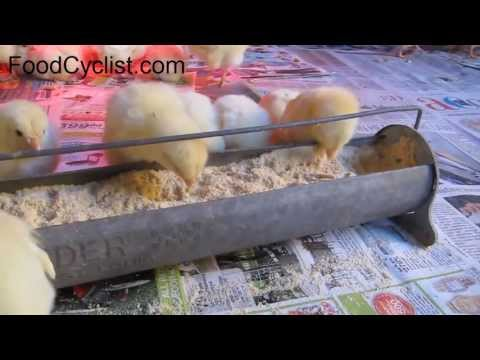 Cute baby chicks on the chicken farm