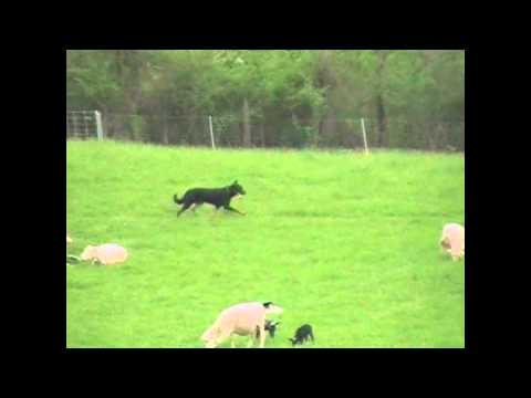 Geary Loff herding with Beauceron Elite (HGH)