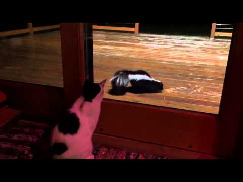 Cat Stares @Skunk Who Sprayed Him Last Week In Fender Strat ,Ville Eddie Vegas