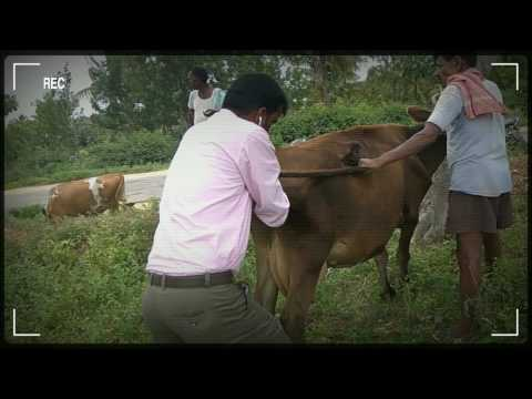 How to get your cow pregnant - SO PAINFUL