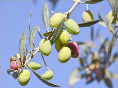 How to Grow an Olive Tree at Home