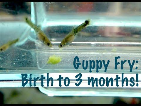Guppy Fry: Birth to 3 Months