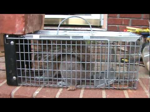 Squirrel Caught in Havahart 0745 Live Trap