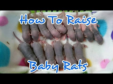 How to Care For Baby Rats & Momma