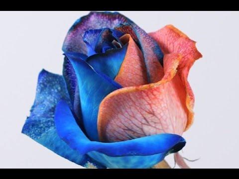 DIY Rainbow Roses