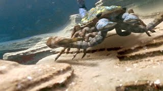 Download The Terrifying Giant Scorpion That Roamed Prehistoric Oceans Video
