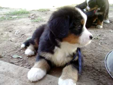 Bernese Mountain Dog puppies 7 wks I litter.MOV
