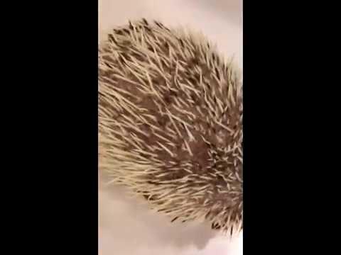 Hedgehog mange mite - Caparinia tripilis