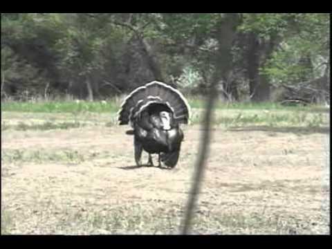 Diane Hafford hunts a Spring Merriam Wild Turkey In Nebraska
