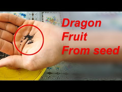 Planting Dragon Fruit from seed