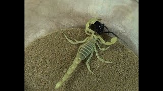 Download Desert Hairy Scorpion vs Black Widow Spider Educational Natural Pest Control Test Video