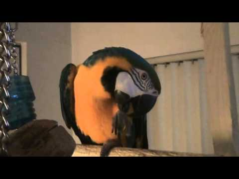 How to Build a Wood Perch for a Large Bird CHEAP!