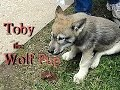 Download TOBY the WOLF PUP MP3,3GP,MP4