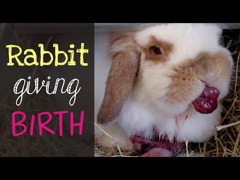 Xxx Mp4 Holland Lop Rabbit Giving Birth 3gp Sex