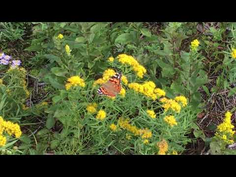 Monarch Butterflies in Aquinnah MA before heading to Mexico by Dr. Mache Seibel