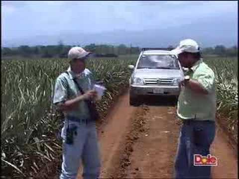 DOLE Pineapple Growing and Harvesting