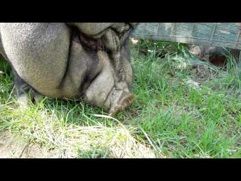Pot belly pig at park named Oinker