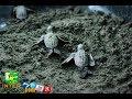 Las Tortugas en Bocas del Toro, San San Pond Sack. AANVECONA.