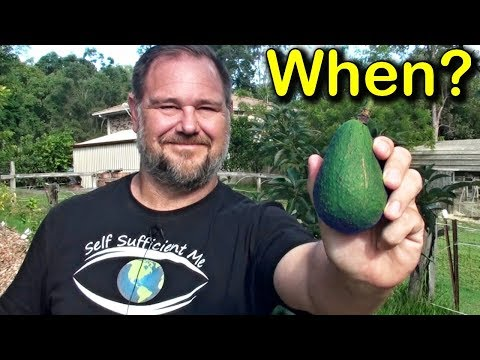 When is an Avocado Ripe & Ready to be Picked from the Tree