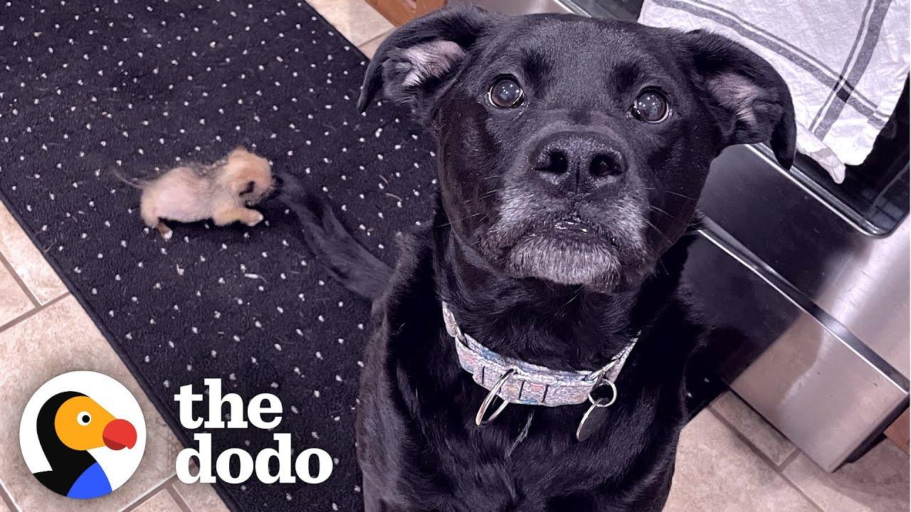 10-Ounce Puppy Terrifies 75-Pound Boxer | The Dodo Little But Fierce