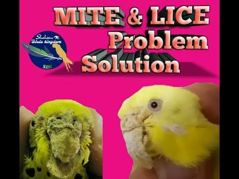 HOW TO PROTECT BIRDS FOR MITES AND LICE  URDU/HINDI