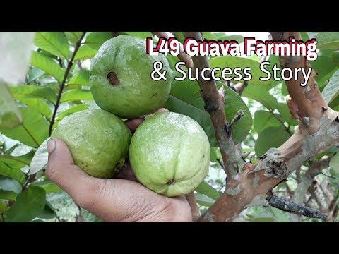 Guava Tree : L49 Guava Tree Plantation In Kolkata - PakVim