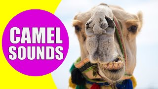 CAMEL SOUNDS | Learn Animals with Kiddopedia #Shorts