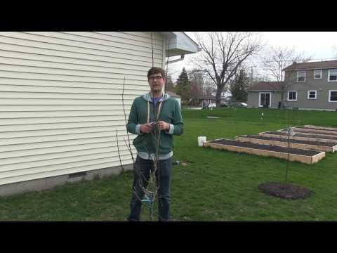 How to Correctly Prune Newly Planted Fruit Trees
