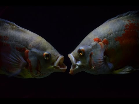 oscarfish breeding dance