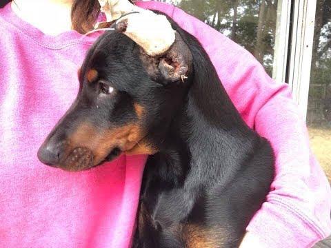 My Dog - Doberman Puppy ears crop after 3 days