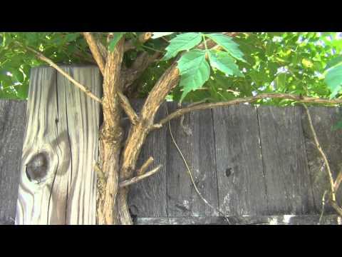 Trumpet Flower Vine removal