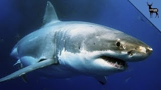 We Know What Ate The 9 Foot Great White Shark