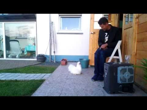 How to train your silkie chicken jumb on your lap on command!