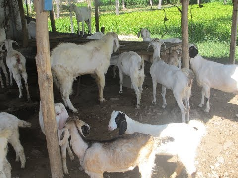 Goat farm -  Subsidary unit of Agriculture