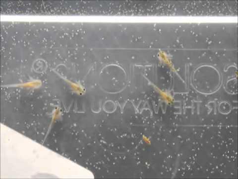 Axolotl larvae eating brine shrimp 3 days old
