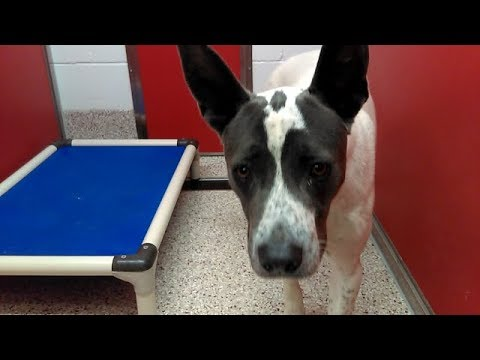 Dopey - A Fostered or Rescued PACC