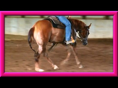 Quarter Horse Colt Being Trained June 19 ,2015