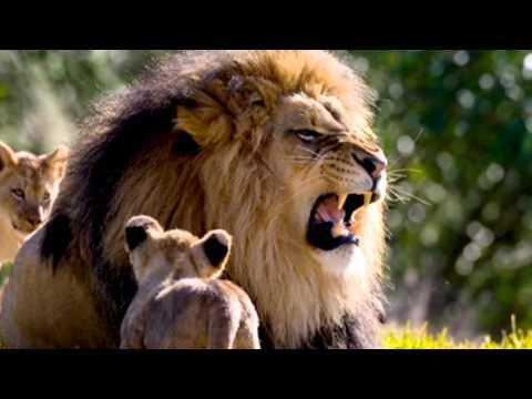 Powerful Roar Of A Majestic   Sound Effect 14