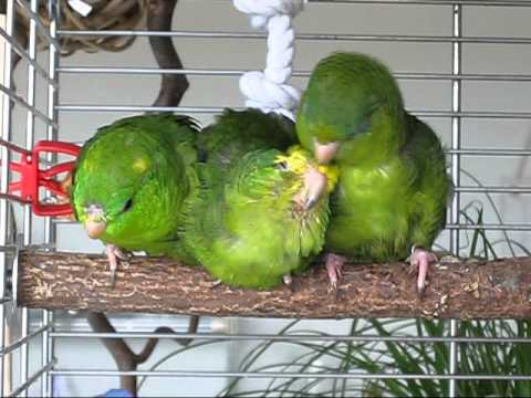 How to make your pet birds happy