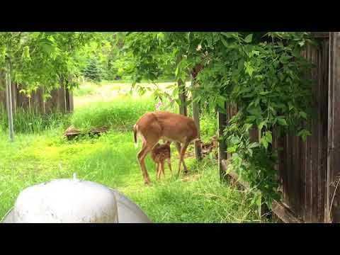 Deer feeding fawn in the wild mother doe baby white tailed deer Wisconsin nature video