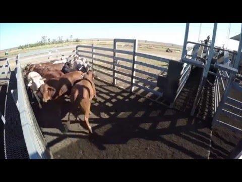 Bud Box com gado Brahman na Australia
