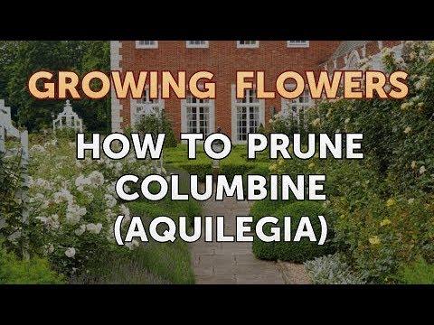 How to Prune Columbine (Aquilegia)
