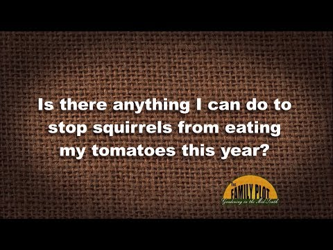 Q&A – How do I keep squirrels from eating my tomatoes?