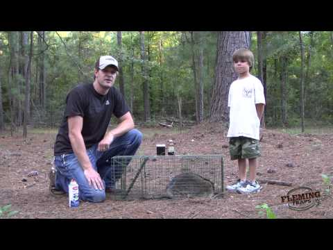 Raccoon Trapping Using A Live Animal Trap