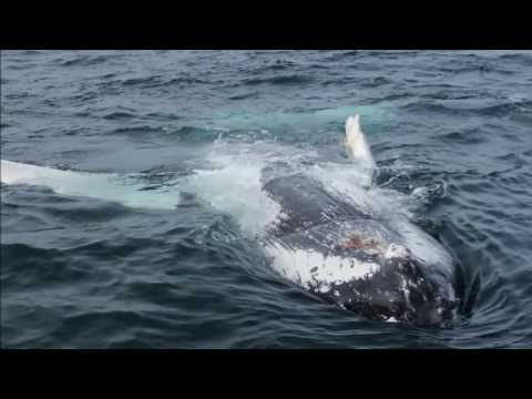 Whale Watching in Húsavík, Iceland - Humpback Whales