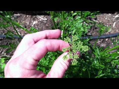 Parsley Bolting, Going to Seed, Deadhead it