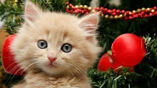 Getting a Kitten for Christmas Compilation