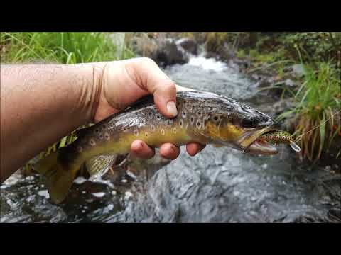 Trout fishing with minnows HEAPS of trout