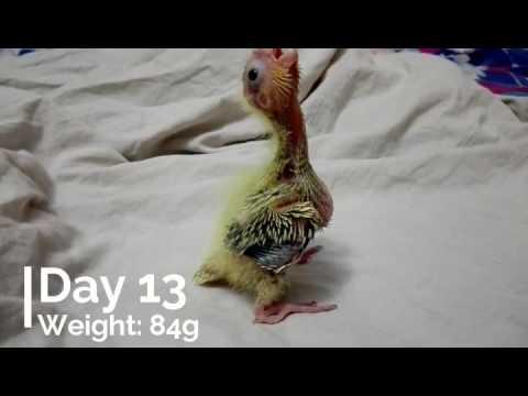 First 30 Days of Cockateil - TheBirdMan